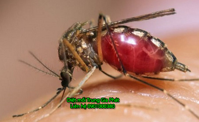 Hình ảnh con muỗi đang hút máu người.